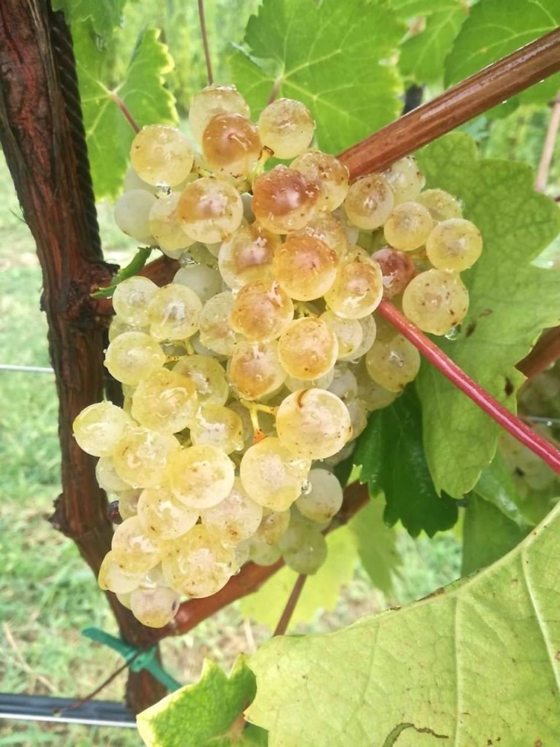 просекко, итальянское вино, вино просекко, prosecco, регион просекко