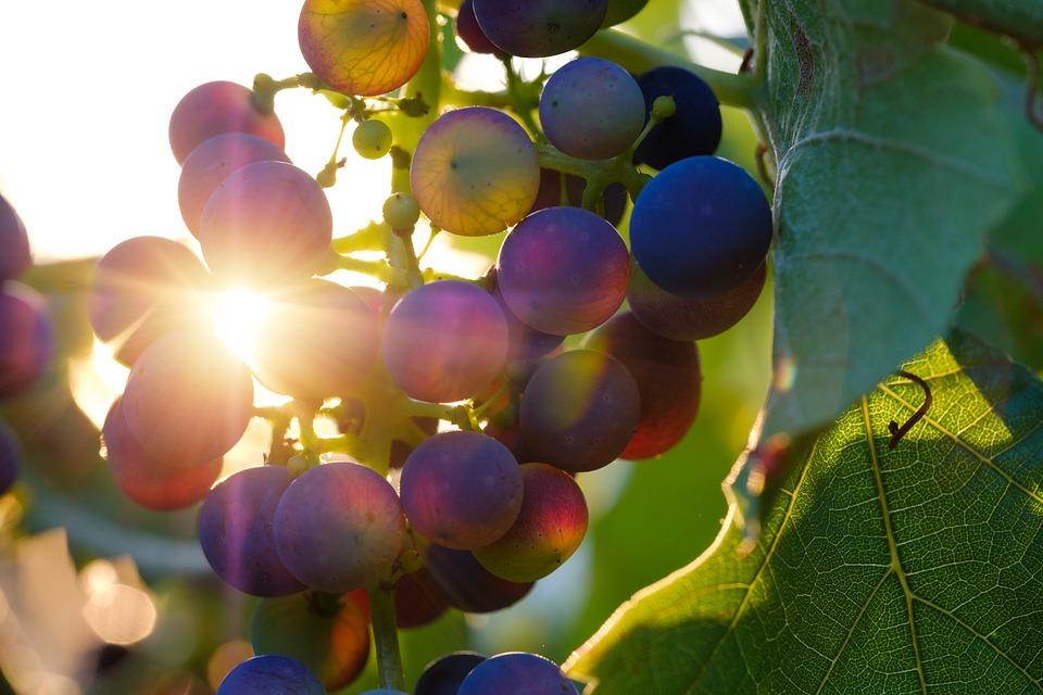 zazazu, куда пойти в петербурге, винный бар, вулканические вина, вино, виноград, лоза, виноградная лоза и солнце
